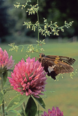 Silver-spotted skipper butterfly nectaring on red clover