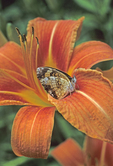 Silvery crescentspot butterfly on daylily