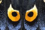 Eastern black swallowtail butterfly wing face pattern