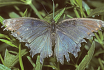 Red-spotted purple butterfly with tattered wings