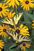 Tiger swallowtail butterflies nectaring on black-eyed susan flowers