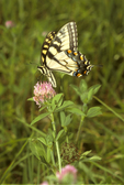 Tiger swallowtail butterfly nectaring on red clover