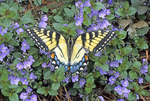 Tiger swallowtail butterfly nectaring on ornamental speedwell