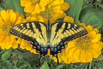 Tiger swallowtail butterfly nectaring on zinnia flowers