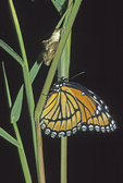 Newly emerged viceroy butterfly with empty chrysalis