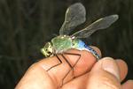 Hand held female green darner dragonfly