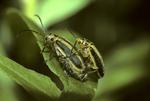 Mating goldenrod beetles
