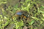 Eastern snail eater ground beetle