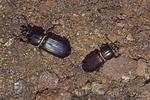 Patent-leather/Jerusalem/horned passalus beetles