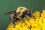 Bumblebee imitator fly