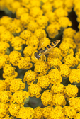 Hover fly on yarrow flowers