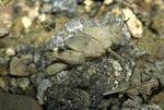 Carolina locust grasshopper nymph