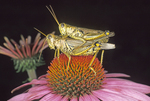 Mating differential grasshoppers