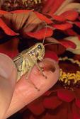 Grasshopper spitting 'tobacco' juice