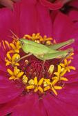 Green grasshopper on zinnia flower