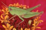 Green grasshopper on red zinnia flower