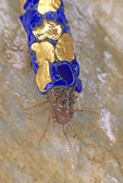 Caddisfly larva in case made from gold and lapis lazuli