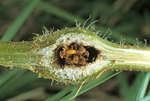 Gall gnat larvae (Family - Cecidomyiidae) in gall on wingstem (Verbesina alternifolia)