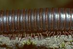Forest log millipede leg movement