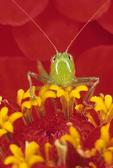 Gladiator/meadow katydid face