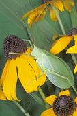 True katydid on black-eyed susan