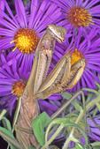 Praying mantis in prayer posture
