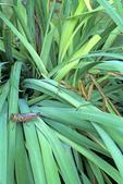 Praying mantis stalking grasshopper