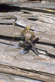 Praying mantis with dragonfly prey