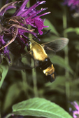 Bumblebee clearwing moth