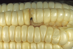 Corn earworm moth caterpillar feeding on ear of corn
