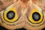 Female io moth wing eye spots
