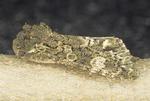 Figure-eight sallow moth