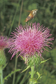 Hummingbird moth in flight