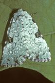Major sallow moth