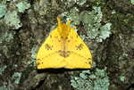 Male io moth with wings closed