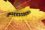 Smartweed/smeared dagger moth caterpillar