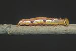 Variable oakleaf caterpillar