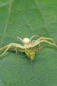 Flower crab spider with katydid prey