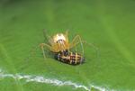 Ghost lynx spider with ladybug larva prey