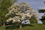 Flowering dogwood tree in full flower