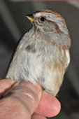 American tree sparrow hand-held, ready for a bird band