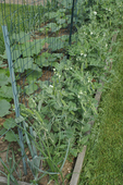 Vegetables growing in a raised bed: peas and squash growing on each side of a garden trellis