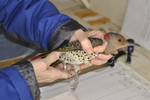 Yellow-shafted flicker hand held by bird bander.  Note the bird band on leg