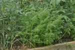 Young carrot plants growing in raised garden bed