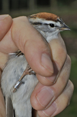 Recently banded chipping sparrow ready to be released