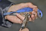 Eastern bluebird receiving a bird band