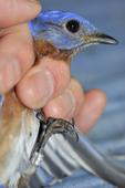 Eastern bluebird with bird band