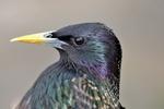 European Starling portrait
