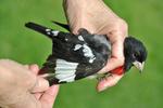Banded Rose-breasted Grosbeak in bird bander's hand