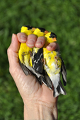 Three banded American Goldfinches in bird bander's hand